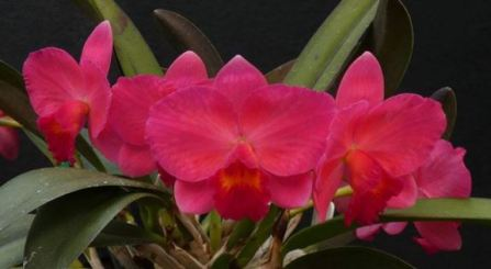Cattleya Jillian Lea 'Coral Red', orchids, cymbidium, cymbidium kimberly splash, tee pee, south east Melbourne, Melbourne, orchid clubs, orchid societies, OSCOV, orchid photos, orchid care, orchid pictures, orchid images, orchid shows, orchid newsletters, orchids on Facebook, orchids of Twitter, Moorabbin, Bentleigh, Brighton, Hampton, Sandringham, Black Rock, Beaumaris, Bayside Council, Bayside district, Kingston, Bayside Melbourne, SE Suburbs, Parkdale, Mordialloc, Carnegie, Cheltenham, McKinnon, Highett, Oakleigh, Clarinda, Heatherton, Clayton, Dingley, Elsternwick, Caulfield, Ormond, Glenhuntley, Murrumbeena,