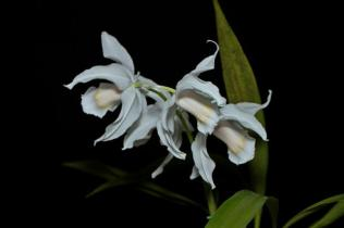 Coelogyne Linda Buckley, orchids, cymbidium, cymbidium kimberly splash, tee pee, south east Melbourne, Melbourne, orchid clubs, orchid societies, OSCOV, orchid photos, orchid care, orchid pictures, orchid images, orchid shows, orchid newsletters, orchids on Facebook, orchids of Twitter, Moorabbin, Bentleigh, Brighton, Hampton, Sandringham, Black Rock, Beaumaris, Bayside Council, Bayside district, Kingston, Bayside Melbourne, SE Suburbs, Parkdale, Mordialloc, Carnegie, Cheltenham, McKinnon, Highett, Oakleigh, Clarinda, Heatherton, Clayton, Dingley, Elsternwick, Caulfield, Ormond, Glenhuntley, Murrumbeena,