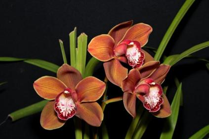 Cymbidium Valley Splash x Red Beauty x Flaming Magic, orchids, cymbidium, cymbidium kimberly splash, tee pee, south east Melbourne, Melbourne, orchid clubs, orchid societies, OSCOV, orchid photos, orchid care, orchid pictures, orchid images, orchid shows, orchid newsletters, orchids on Facebook, orchids of Twitter, Moorabbin, Bentleigh, Brighton, Hampton, Sandringham, Black Rock, Beaumaris, Bayside Council, Bayside district, Kingston, Bayside Melbourne, SE Suburbs, Parkdale, Mordialloc, Carnegie, Cheltenham, McKinnon, Highett, Oakleigh, Clarinda, Heatherton, Clayton, Dingley, Elsternwick, Caulfield, Ormond, Glenhuntley, Murrumbeena,