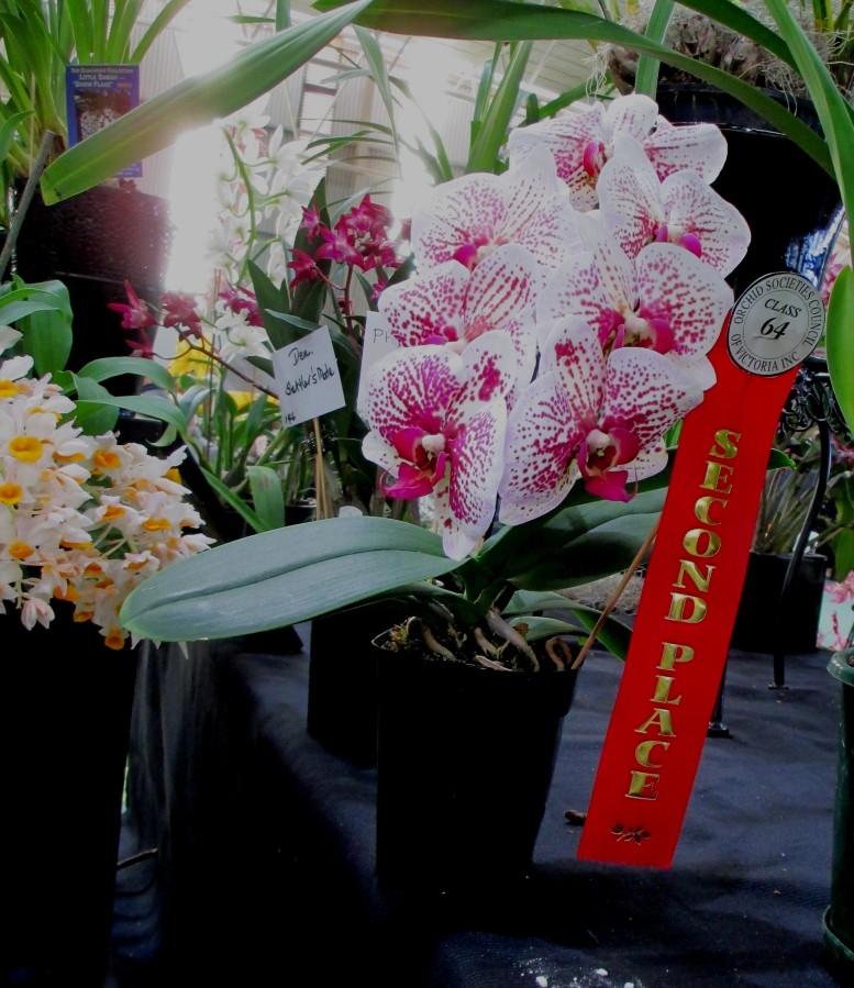 Phalaenopsis unknown, orchids, cymbidium, cymbidium kimberly splash, tee pee, south east Melbourne, Melbourne, orchid clubs, orchid societies, OSCOV, orchid photos, orchid care, orchid pictures, orchid images, orchid shows, orchid newsletters, orchids on Facebook, orchids of Twitter, Moorabbin, Bentleigh, Brighton, Hampton, Sandringham, Black Rock, Beaumaris, Bayside Council, Bayside district, Kingston, Bayside Melbourne, SE Suburbs, Parkdale, Mordialloc, Carnegie, Cheltenham, McKinnon, Highett, Oakleigh, Clarinda, Heatherton, Clayton, Dingley, Elsternwick, Caulfield, Ormond, Glenhuntley, Murrumbeena,