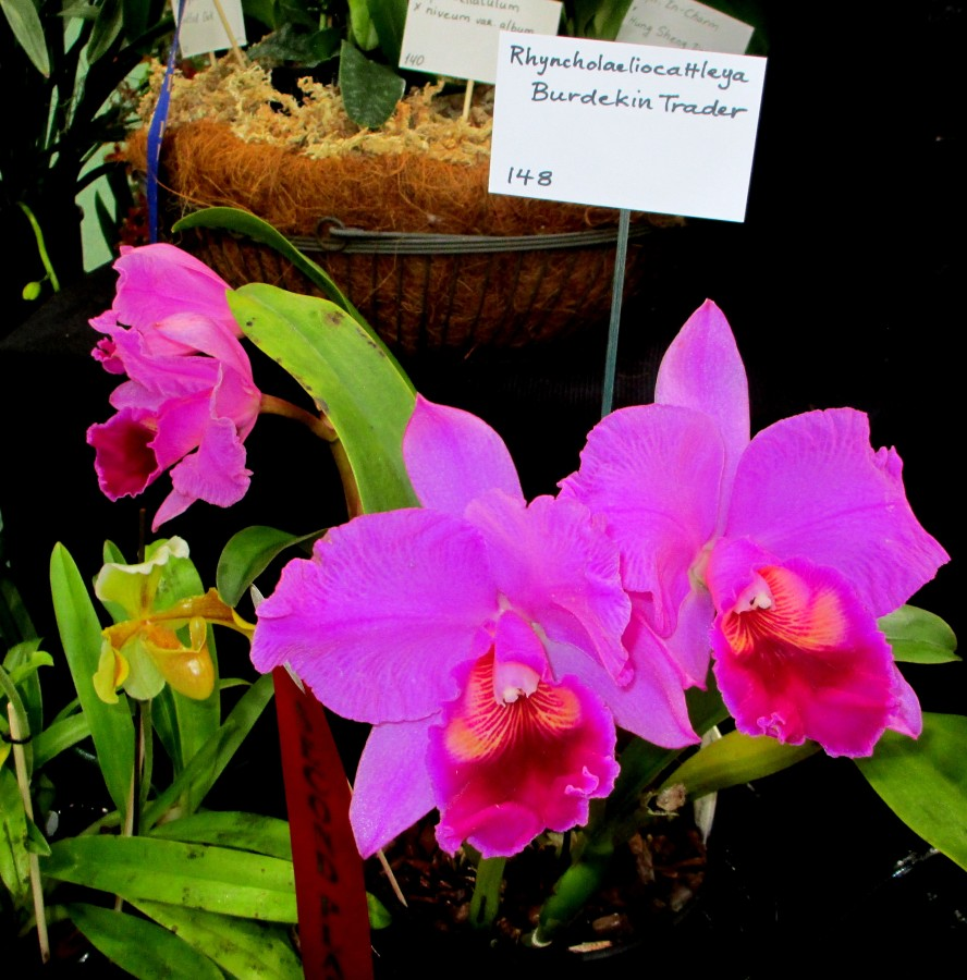 SSOS Rhyncholaeliocattleya Burdekin Trader, orchids, cymbidium, cymbidium kimberly splash, tee pee, south east Melbourne, Melbourne, orchid clubs, orchid societies, OSCOV, orchid photos, orchid care, orchid pictures, orchid images, orchid shows, orchid newsletters, orchids on Facebook, orchids of Twitter, Moorabbin, Bentleigh, Brighton, Hampton, Sandringham, Black Rock, Beaumaris, Bayside Council, Bayside district, Kingston, Bayside Melbourne, SE Suburbs, Parkdale, Mordialloc, Carnegie, Cheltenham, McKinnon, Highett, Oakleigh, Clarinda, Heatherton, Clayton, Dingley, Elsternwick, Caulfield, Ormond, Glenhuntley, Murrumbeena,