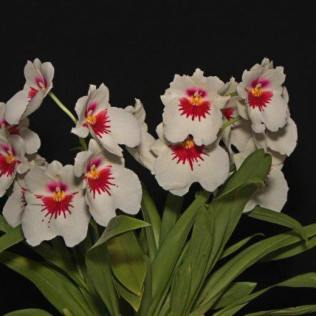 Miltoniopsis Emotion 'White Face', cymbidium, cymbidium kimberly splash, tee pee, south east Melbourne, Melbourne, orchid clubs, orchid societies, OSCOV, orchid photos, orchid care, orchid pictures, orchid images, orchid shows, orchid newsletters, orchids on Facebook, orchids of Twitter, Moorabbin, Bentleigh, Brighton, Hampton, Sandringham, Black Rock, Beaumaris, Bayside Council, Bayside district, Kingston, Bayside Melbourne, SE Suburbs, Parkdale, Mordialloc, Carnegie, Cheltenham, McKinnon, Highett, Oakleigh, Clarinda, Heatherton, Clayton, Dingley, Elsternwick, Caulfield, Ormond, Glenhuntley, Murrumbeena,
