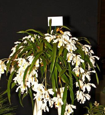 Coelogyne cristata 'Bentleigh', cymbidium, cymbidium kimberly splash, tee pee, south east Melbourne, Melbourne, orchid clubs, orchid societies, OSCOV, orchid photos, orchid care, orchid pictures, orchid images, orchid shows, orchid newsletters, orchids on Facebook, orchids of Twitter, Moorabbin, Bentleigh, Brighton, Hampton, Sandringham, Black Rock, Beaumaris, Bayside Council, Bayside district, Kingston, Bayside Melbourne, SE Suburbs, Parkdale, Mordialloc, Carnegie, Cheltenham, McKinnon, Highett, Oakleigh, Clarinda, Heatherton, Clayton, Dingley, Elsternwick, Caulfield, Ormond, Glenhuntley, Murrumbeena,