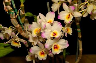 Dendrobium softcane 'Christmas Cheer', cymbidium, cymbidium kimberly splash, tee pee, south east Melbourne, Melbourne, orchid clubs, orchid societies, OSCOV, orchid photos, orchid care, orchid pictures, orchid images, orchid shows, orchid newsletters, orchids on Facebook, orchids of Twitter, Moorabbin, Bentleigh, Brighton, Hampton, Sandringham, Black Rock, Beaumaris, Bayside Council, Bayside district, Kingston, Bayside Melbourne, SE Suburbs, Parkdale, Mordialloc, Carnegie, Cheltenham, McKinnon, Highett, Oakleigh, Clarinda, Heatherton, Clayton, Dingley, Elsternwick, Caulfield, Ormond, Glenhuntley, Murrumbeena,