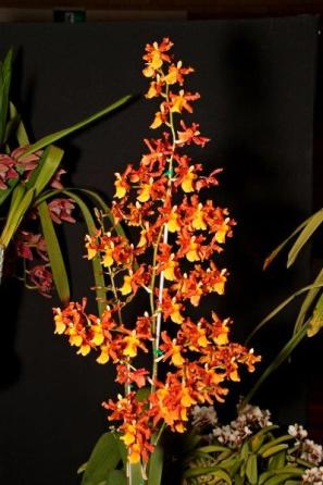 Odontocidium Catante 'Pacific Sunburst', cymbidium, cymbidium kimberly splash, tee pee, south east Melbourne, Melbourne, orchid clubs, orchid societies, OSCOV, orchid photos, orchid care, orchid pictures, orchid images, orchid shows, orchid newsletters, orchids on Facebook, orchids of Twitter, Moorabbin, Bentleigh, Brighton, Hampton, Sandringham, Black Rock, Beaumaris, Bayside Council, Bayside district, Kingston, Bayside Melbourne, SE Suburbs, Parkdale, Mordialloc, Carnegie, Cheltenham, McKinnon, Highett, Oakleigh, Clarinda, Heatherton, Clayton, Dingley, Elsternwick, Caulfield, Ormond, Glenhuntley, Murrumbeena,