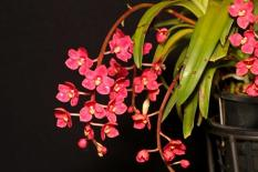 Sarcochilus Fitzhart 'Magenta' x Orange 'Glow Flames', cymbidium, cymbidium kimberly splash, tee pee, south east Melbourne, Melbourne, orchid clubs, orchid societies, OSCOV, orchid photos, orchid care, orchid pictures, orchid images, orchid shows, orchid newsletters, orchids on Facebook, orchids of Twitter, Moorabbin, Bentleigh, Brighton, Hampton, Sandringham, Black Rock, Beaumaris, Bayside Council, Bayside district, Kingston, Bayside Melbourne, SE Suburbs, Parkdale, Mordialloc, Carnegie, Cheltenham, McKinnon, Highett, Oakleigh, Clarinda, Heatherton, Clayton, Dingley, Elsternwick, Caulfield, Ormond, Glenhuntley, Murrumbeena,