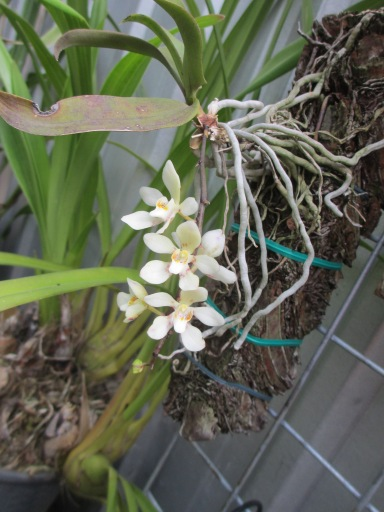Rcls Yellow Cascades x Sarcochilus Australis cymbidium, cymbidium kimberly splash, tee pee, south east Melbourne, Melbourne, orchid clubs, orchid societies, OSCOV, orchid photos, orchid care, orchid pictures, orchid images, orchid shows, orchid newsletters, orchids on Facebook, orchids of Twitter, Moorabbin, Bentleigh, Brighton, Hampton, Sandringham, Black Rock, Beaumaris, Bayside Council, Bayside district, Kingston, Bayside Melbourne, SE Suburbs, Parkdale, Mordialloc, Carnegie, Cheltenham, McKinnon, Highett, Oakleigh, Clarinda, Heatherton, Clayton, Dingley, Elsternwick, Caulfield, Ormond, Glenhuntley, Murrumbeena,