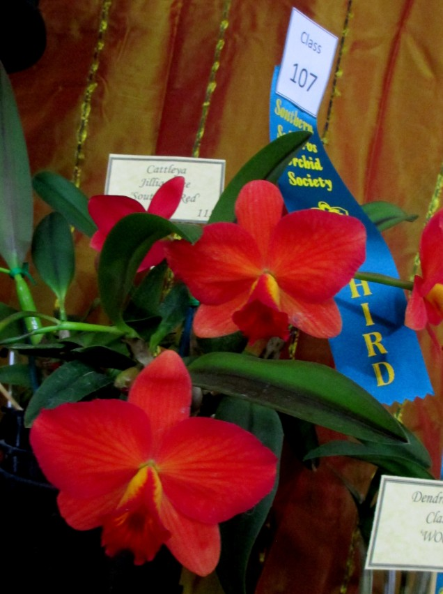 Champion Laeliinae Alliance and Vic Pearce Memorial Perpetual Trophy winner | Cattleya Jillian Lee 'Southern Red', cymbidium, cymbidium kimberly splash, tee pee, south east Melbourne, Melbourne, orchid clubs, orchid societies, OSCOV, orchid photos, orchid care, orchid pictures, orchid images, orchid shows, orchid newsletters, orchids on Facebook, orchids of Twitter, Moorabbin, Bentleigh, Brighton, Hampton, Sandringham, Black Rock, Beaumaris, Bayside Council, Bayside district, Kingston, Bayside Melbourne, SE Suburbs, Parkdale, Mordialloc, Carnegie, Cheltenham, McKinnon, Highett, Oakleigh, Clarinda, Heatherton, Clayton, Dingley, Elsternwick, Caulfield, Ormond, Glenhuntley, Murrumbeena,