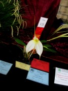 Masdevallia Lemon Ice 'Beenak', cymbidium, cymbidium kimberly splash, tee pee, south east Melbourne, Melbourne, orchid clubs, orchid societies, OSCOV, orchid photos, orchid care, orchid pictures, orchid images, orchid shows, orchid newsletters, orchids on Facebook, orchids of Twitter, Moorabbin, Bentleigh, Brighton, Hampton, Sandringham, Black Rock, Beaumaris, Bayside Council, Bayside district, Kingston, Bayside Melbourne, SE Suburbs, Parkdale, Mordialloc, Carnegie, Cheltenham, McKinnon, Highett, Oakleigh, Clarinda, Heatherton, Clayton, Dingley, Elsternwick, Caulfield, Ormond, Glenhuntley, Murrumbeena,
