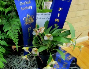 Champion Masdevallia Hybrid and Champion Orchid by an Intermediate Grower | Masdevallia Tuakau Candy, cymbidium, cymbidium kimberly splash, tee pee, south east Melbourne, Melbourne, orchid clubs, orchid societies, OSCOV, orchid photos, orchid care, orchid pictures, orchid images, orchid shows, orchid newsletters, orchids on Facebook, orchids of Twitter, Moorabbin, Bentleigh, Brighton, Hampton, Sandringham, Black Rock, Beaumaris, Bayside Council, Bayside district, Kingston, Bayside Melbourne, SE Suburbs, Parkdale, Mordialloc, Carnegie, Cheltenham, McKinnon, Highett, Oakleigh, Clarinda, Heatherton, Clayton, Dingley, Elsternwick, Caulfield, Ormond, Glenhuntley, Murrumbeena,