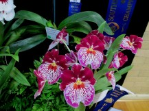 Miltoniopsis Breathless 'Brilliant', cymbidium, cymbidium kimberly splash, tee pee, south east Melbourne, Melbourne, orchid clubs, orchid societies, OSCOV, orchid photos, orchid care, orchid pictures, orchid images, orchid shows, orchid newsletters, orchids on Facebook, orchids of Twitter, Moorabbin, Bentleigh, Brighton, Hampton, Sandringham, Black Rock, Beaumaris, Bayside Council, Bayside district, Kingston, Bayside Melbourne, SE Suburbs, Parkdale, Mordialloc, Carnegie, Cheltenham, McKinnon, Highett, Oakleigh, Clarinda, Heatherton, Clayton, Dingley, Elsternwick, Caulfield, Ormond, Glenhuntley, Murrumbeena,