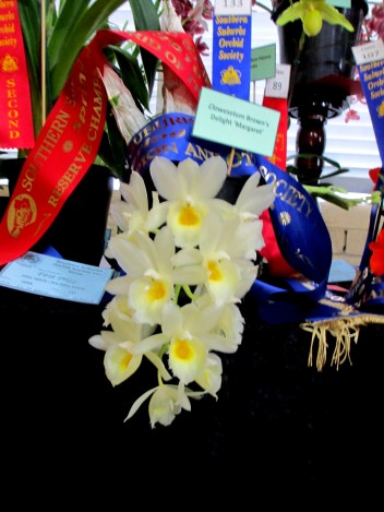 Reserve Champion of the Show and Champion Any Other Hybrid | Clowesetum Brown's Delight 'Margaret', cymbidium, cymbidium kimberly splash, tee pee, south east Melbourne, Melbourne, orchid clubs, orchid societies, OSCOV, orchid photos, orchid care, orchid pictures, orchid images, orchid shows, orchid newsletters, orchids on Facebook, orchids of Twitter, Moorabbin, Bentleigh, Brighton, Hampton, Sandringham, Black Rock, Beaumaris, Bayside Council, Bayside district, Kingston, Bayside Melbourne, SE Suburbs, Parkdale, Mordialloc, Carnegie, Cheltenham, McKinnon, Highett, Oakleigh, Clarinda, Heatherton, Clayton, Dingley, Elsternwick, Caulfield, Ormond, Glenhuntley, Murrumbeena,