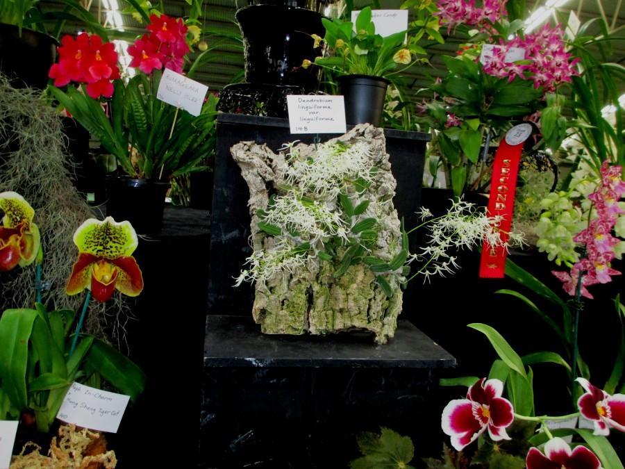 SSOS stand at OSCOV 2019 Dendrobium linguiforme var linguiforme, cymbidium, cymbidium kimberly splash, tee pee, south east Melbourne, Melbourne, orchid clubs, orchid societies, OSCOV, orchid photos, orchid care, orchid pictures, orchid images, orchid shows, orchid newsletters, orchids on Facebook, orchids of Twitter, Moorabbin, Bentleigh, Brighton, Hampton, Sandringham, Black Rock, Beaumaris, Bayside Council, Bayside district, Kingston, Bayside Melbourne, SE Suburbs, Parkdale, Mordialloc, Carnegie, Cheltenham, McKinnon, Highett, Oakleigh, Clarinda, Heatherton, Clayton, Dingley, Elsternwick, Caulfield, Ormond, Glenhuntley, Murrumbeena,