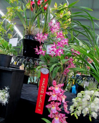 SSOS stand at OSCOV 2019 Dendrobium Na-Nang, cymbidium, cymbidium kimberly splash, tee pee, south east Melbourne, Melbourne, orchid clubs, orchid societies, OSCOV, orchid photos, orchid care, orchid pictures, orchid images, orchid shows, orchid newsletters, orchids on Facebook, orchids of Twitter, Moorabbin, Bentleigh, Brighton, Hampton, Sandringham, Black Rock, Beaumaris, Bayside Council, Bayside district, Kingston, Bayside Melbourne, SE Suburbs, Parkdale, Mordialloc, Carnegie, Cheltenham, McKinnon, Highett, Oakleigh, Clarinda, Heatherton, Clayton, Dingley, Elsternwick, Caulfield, Ormond, Glenhuntley, Murrumbeena,