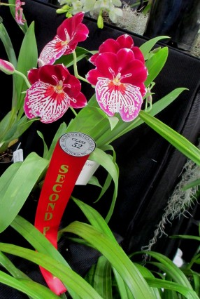 SSOS stand at OSCOV 2019 second prize Miltoniopsis, cymbidium, cymbidium kimberly splash, tee pee, south east Melbourne, Melbourne, orchid clubs, orchid societies, OSCOV, orchid photos, orchid care, orchid pictures, orchid images, orchid shows, orchid newsletters, orchids on Facebook, orchids of Twitter, Moorabbin, Bentleigh, Brighton, Hampton, Sandringham, Black Rock, Beaumaris, Bayside Council, Bayside district, Kingston, Bayside Melbourne, SE Suburbs, Parkdale, Mordialloc, Carnegie, Cheltenham, McKinnon, Highett, Oakleigh, Clarinda, Heatherton, Clayton, Dingley, Elsternwick, Caulfield, Ormond, Glenhuntley, Murrumbeena,