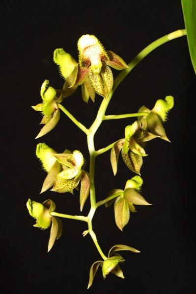 Catasetum atratum, cymbidium, cymbidium kimberly splash, tee pee, south east Melbourne, Melbourne, orchid clubs, orchid societies, OSCOV, orchid photos, orchid care, orchid pictures, orchid images, orchid shows, orchid newsletters, orchids on Facebook, orchids of Twitter, Moorabbin, Bentleigh, Brighton, Hampton, Sandringham, Black Rock, Beaumaris, Bayside Council, Bayside district, Kingston, Bayside Melbourne, SE Suburbs, Parkdale, Mordialloc, Carnegie, Cheltenham, McKinnon, Highett, Oakleigh, Clarinda, Heatherton, Clayton, Dingley, Elsternwick, Caulfield, Ormond, Glenhuntley, Murrumbeena,