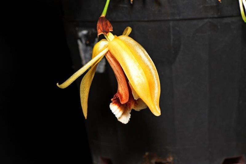 Coelogyne speciosa incarta x lip, cymbidium, cymbidium kimberly splash, tee pee, south east Melbourne, Melbourne, orchid clubs, orchid societies, OSCOV, orchid photos, orchid care, orchid pictures, orchid images, orchid shows, orchid newsletters, orchids on Facebook, orchids of Twitter, Moorabbin, Bentleigh, Brighton, Hampton, Sandringham, Black Rock, Beaumaris, Bayside Council, Bayside district, Kingston, Bayside Melbourne, SE Suburbs, Parkdale, Mordialloc, Carnegie, Cheltenham, McKinnon, Highett, Oakleigh, Clarinda, Heatherton, Clayton, Dingley, Elsternwick, Caulfield, Ormond, Glenhuntley, Murrumbeena,