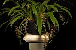 Liparis coelogynoides, cymbidium, cymbidium kimberly splash, tee pee, south east Melbourne, Melbourne, orchid clubs, orchid societies, OSCOV, orchid photos, orchid care, orchid pictures, orchid images, orchid shows, orchid newsletters, orchids on Facebook, orchids of Twitter, Moorabbin, Bentleigh, Brighton, Hampton, Sandringham, Black Rock, Beaumaris, Bayside Council, Bayside district, Kingston, Bayside Melbourne, SE Suburbs, Parkdale, Mordialloc, Carnegie, Cheltenham, McKinnon, Highett, Oakleigh, Clarinda, Heatherton, Clayton, Dingley, Elsternwick, Caulfield, Ormond, Glenhuntley, Murrumbeena,