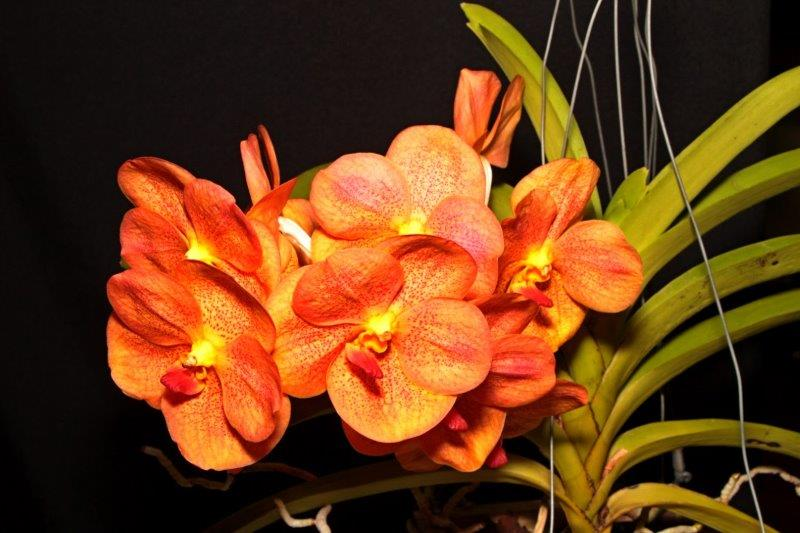 Vanda Somsri Thai Spot, cymbidium, cymbidium kimberly splash, tee pee, south east Melbourne, Melbourne, orchid clubs, orchid societies, OSCOV, orchid photos, orchid care, orchid pictures, orchid images, orchid shows, orchid newsletters, orchids on Facebook, orchids of Twitter, Moorabbin, Bentleigh, Brighton, Hampton, Sandringham, Black Rock, Beaumaris, Bayside Council, Bayside district, Kingston, Bayside Melbourne, SE Suburbs, Parkdale, Mordialloc, Carnegie, Cheltenham, McKinnon, Highett, Oakleigh, Clarinda, Heatherton, Clayton, Dingley, Elsternwick, Caulfield, Ormond, Glenhuntley, Murrumbeena,