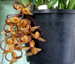 Gongora galeata, cymbidium, cymbidium kimberly splash, tee pee, south east Melbourne, Melbourne, orchid clubs, orchid societies, OSCOV, orchid photos, orchid care, orchid pictures, orchid images, orchid shows, orchid newsletters, orchids on Facebook, orchids of Twitter, Moorabbin, Bentleigh, Brighton, Hampton, Sandringham, Black Rock, Beaumaris, Bayside Council, Bayside district, Kingston, Bayside Melbourne, SE Suburbs, Parkdale, Mordialloc, Carnegie, Cheltenham, McKinnon, Highett, Oakleigh, Clarinda, Heatherton, Clayton, Dingley, Elsternwick, Caulfield, Ormond, Glenhuntley, Murrumbeena,
