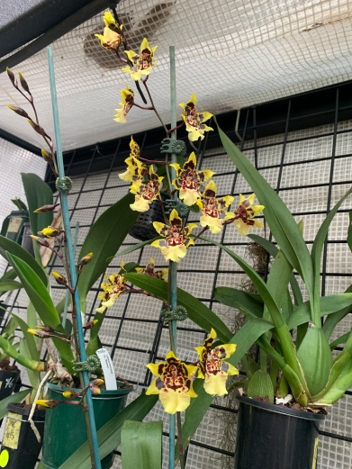 Oncidium Wild Cat, cymbidium, cymbidium kimberly splash, tee pee, south east Melbourne, Melbourne, orchid clubs, orchid societies, OSCOV, orchid photos, orchid care, orchid pictures, orchid images, orchid shows, orchid newsletters, orchids on Facebook, orchids of Twitter, Moorabbin, Bentleigh, Brighton, Hampton, Sandringham, Black Rock, Beaumaris, Bayside Council, Bayside district, Kingston, Bayside Melbourne, SE Suburbs, Parkdale, Mordialloc, Carnegie, Cheltenham, McKinnon, Highett, Oakleigh, Clarinda, Heatherton, Clayton, Dingley, Elsternwick, Caulfield, Ormond, Glenhuntley, Murrumbeena,