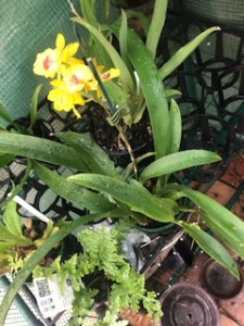 Oncidium Hwuluduen 'Chameleon', cymbidium, cymbidium kimberly splash, tee pee, south east Melbourne, Melbourne, orchid clubs, orchid societies, OSCOV, orchid photos, orchid care, orchid pictures, orchid images, orchid shows, orchid newsletters, orchids on Facebook, orchids of Twitter, Moorabbin, Bentleigh, Brighton, Hampton, Sandringham, Black Rock, Beaumaris, Bayside Council, Bayside district, Kingston, Bayside Melbourne, SE Suburbs, Parkdale, Mordialloc, Carnegie, Cheltenham, McKinnon, Highett, Oakleigh, Clarinda, Heatherton, Clayton, Dingley, Elsternwick, Caulfield, Ormond, Glenhuntley, Murrumbeena,
