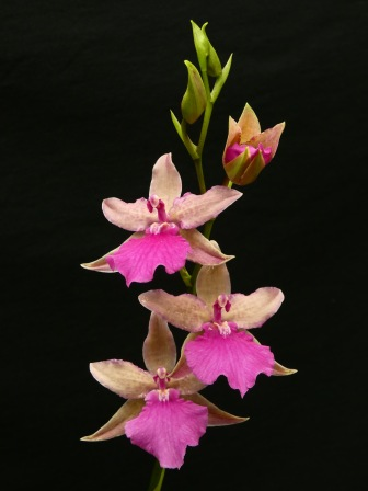 Rhynchonia Pacific Paranoia 'Other Side Of Cool' [Grower: C Trainor], cymbidium, cymbidium kimberly splash, tee pee, south east Melbourne, Melbourne, orchid clubs, orchid societies, OSCOV, orchid photos, orchid care, orchid pictures, orchid images, orchid shows, orchid newsletters, orchids on Facebook, orchids of Twitter, Moorabbin, Bentleigh, Brighton, Hampton, Sandringham, Black Rock, Beaumaris, Bayside Council, Bayside district, Kingston, Bayside Melbourne, SE Suburbs, Parkdale, Mordialloc, Carnegie, Cheltenham, McKinnon, Highett, Oakleigh, Clarinda, Heatherton, Clayton, Dingley, Elsternwick, Caulfield, Ormond, Glenhuntley, Murrumbeena,