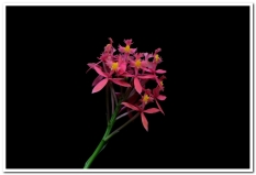 Epidendrum pink, cymbidium, cymbidium kimberly splash, tee pee, south east Melbourne, Melbourne, orchid clubs, orchid societies, OSCOV, orchid photos, orchid care, orchid pictures, orchid images, orchid shows, orchid newsletters, orchids on Facebook, orchids of Twitter, Moorabbin, Bentleigh, Brighton, Hampton, Sandringham, Black Rock, Beaumaris, Bayside Council, Bayside district, Kingston, Bayside Melbourne, SE Suburbs, Parkdale, Mordialloc, Carnegie, Cheltenham, McKinnon, Highett, Oakleigh, Clarinda, Heatherton, Clayton, Dingley, Elsternwick, Caulfield, Ormond, Glenhuntley, Murrumbeena,