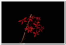 Epidendrum red, cymbidium, cymbidium kimberly splash, tee pee, south east Melbourne, Melbourne, orchid clubs, orchid societies, OSCOV, orchid photos, orchid care, orchid pictures, orchid images, orchid shows, orchid newsletters, orchids on Facebook, orchids of Twitter, Moorabbin, Bentleigh, Brighton, Hampton, Sandringham, Black Rock, Beaumaris, Bayside Council, Bayside district, Kingston, Bayside Melbourne, SE Suburbs, Parkdale, Mordialloc, Carnegie, Cheltenham, McKinnon, Highett, Oakleigh, Clarinda, Heatherton, Clayton, Dingley, Elsternwick, Caulfield, Ormond, Glenhuntley, Murrumbeena,