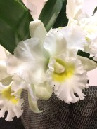 Laelliacattleya White Jewel , south east Melbourne, Melbourne, orchid clubs, orchid societies, OSCOV, orchid photos, orchid care, orchid pictures, orchid images, orchid shows, orchid newsletters, orchids on Facebook, orchids of Twitter, Moorabbin, Bentleigh, Brighton, Hampton, Sandringham, Black Rock, Beaumaris, Bayside Council, Bayside district, Kingston, Bayside Melbourne, SE Suburbs, Parkdale, Mordialloc, Carnegie, Cheltenham, McKinnon, Highett, Oakleigh, Clarinda, Heatherton, Clayton, Dingley, Elsternwick, Caulfield, Ormond, Glenhuntley, Murrumbeena,