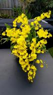 Oncidium Sweet Sugar Dancing Lady Gomesa, south east Melbourne, Melbourne, orchid clubs, orchid societies, OSCOV, orchid photos, orchid care, orchid pictures, orchid images, orchid shows, orchid newsletters, orchids on Facebook, orchids of Twitter, Moorabbin, Bentleigh, Brighton, Hampton, Sandringham, Black Rock, Beaumaris, Bayside Council, Bayside district, Kingston, Bayside Melbourne, SE Suburbs, Parkdale, Mordialloc, Carnegie, Cheltenham, McKinnon, Highett, Oakleigh, Clarinda, Heatherton, Clayton, Dingley, Elsternwick, Caulfield, Ormond, Glenhuntley, Murrumbeena,