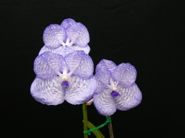 Vanda coerulea 'Violet Moon', south east Melbourne, Melbourne, orchid clubs, orchid societies, OSCOV, orchid photos, orchid care, orchid pictures, orchid images, orchid shows, orchid newsletters, orchids on Facebook, orchids of Twitter, Moorabbin, Bentleigh, Brighton, Hampton, Sandringham, Black Rock, Beaumaris, Bayside Council, Bayside district, Kingston, Bayside Melbourne, SE Suburbs, Parkdale, Mordialloc, Carnegie, Cheltenham, McKinnon, Highett, Oakleigh, Clarinda, Heatherton, Clayton, Dingley, Elsternwick, Caulfield, Ormond, Glenhuntley, Murrumbeena,