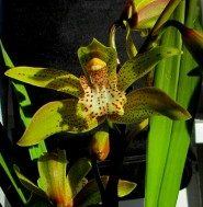 Cymbidium Feldenense, south east Melbourne, Melbourne, orchid clubs, orchid societies, OSCOV, orchid photos, orchid care, orchid pictures, orchid images, orchid shows, orchid newsletters, orchids on Facebook, orchids of Twitter, Moorabbin, Bentleigh, Brighton, Hampton, Sandringham, Black Rock, Beaumaris, Bayside Council, Bayside district, Kingston, Bayside Melbourne, SE Suburbs, Parkdale, Mordialloc, Carnegie, Cheltenham, McKinnon, Highett, Oakleigh, Clarinda, Heatherton, Clayton, Dingley, Elsternwick, Caulfield, Ormond, Glenhuntley, Murrumbeena,