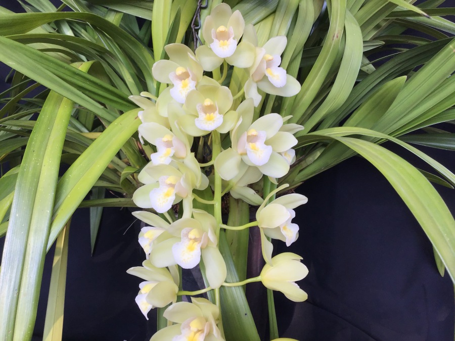 Cymbidium Sarah Jean 'Jennifer', south east Melbourne, Melbourne, orchid clubs, orchid societies, OSCOV, orchid photos, orchid care, orchid pictures, orchid images, orchid shows, orchid newsletters, orchids on Facebook, orchids of Twitter, Moorabbin, Bentleigh, Brighton, Hampton, Sandringham, Black Rock, Beaumaris, Bayside Council, Bayside district, Kingston, Bayside Melbourne, SE Suburbs, Parkdale, Mordialloc, Carnegie, Cheltenham, McKinnon, Highett, Oakleigh, Clarinda, Heatherton, Clayton, Dingley, Elsternwick, Caulfield, Ormond, Glenhuntley, Murrumbeena,