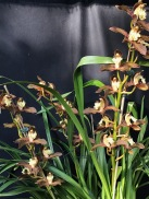 Cymbidium tracyanum, south east Melbourne, Melbourne, orchid clubs, orchid societies, OSCOV, orchid photos, orchid care, orchid pictures, orchid images, orchid shows, orchid newsletters, orchids on Facebook, orchids of Twitter, Moorabbin, Bentleigh, Brighton, Hampton, Sandringham, Black Rock, Beaumaris, Bayside Council, Bayside district, Kingston, Bayside Melbourne, SE Suburbs, Parkdale, Mordialloc, Carnegie, Cheltenham, McKinnon, Highett, Oakleigh, Clarinda, Heatherton, Clayton, Dingley, Elsternwick, Caulfield, Ormond, Glenhuntley, Murrumbeena,