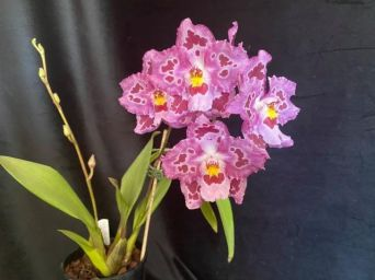 Oncidium Aviator 'Pink Suffusion', south east Melbourne, Melbourne, orchid clubs, orchid societies, OSCOV, orchid photos, orchid care, orchid pictures, orchid images, orchid shows, orchid newsletters, orchids on Facebook, orchids of Twitter, Moorabbin, Bentleigh, Brighton, Hampton, Sandringham, Black Rock, Beaumaris, Bayside Council, Bayside district, Kingston, Bayside Melbourne, SE Suburbs, Parkdale, Mordialloc, Carnegie, Cheltenham, McKinnon, Highett, Oakleigh, Clarinda, Heatherton, Clayton, Dingley, Elsternwick, Caulfield, Ormond, Glenhuntley, Murrumbeena,