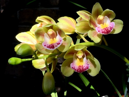 Cymbidium Morialta 'Green Falls', south east Melbourne, Melbourne, orchid clubs, orchid societies, OSCOV, orchid photos, orchid care, orchid pictures, orchid images, orchid shows, orchid newsletters, orchids on Facebook, orchids of Twitter, Moorabbin, Bentleigh, Brighton, Hampton, Sandringham, Black Rock, Beaumaris, Bayside Council, Bayside district, Kingston, Bayside Melbourne, SE Suburbs, Parkdale, Mordialloc, Carnegie, Cheltenham, McKinnon, Highett, Oakleigh, Clarinda, Heatherton, Clayton, Dingley, Elsternwick, Caulfield, Ormond, Glenhuntley, Murrumbeena,