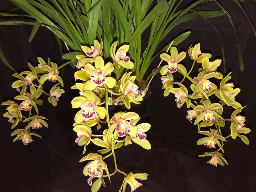 Cymbidium Morialta 'Morialta Falls', south east Melbourne, Melbourne, orchid clubs, orchid societies, OSCOV, orchid photos, orchid care, orchid pictures, orchid images, orchid shows, orchid newsletters, orchids on Facebook, orchids of Twitter, Moorabbin, Bentleigh, Brighton, Hampton, Sandringham, Black Rock, Beaumaris, Bayside Council, Bayside district, Kingston, Bayside Melbourne, SE Suburbs, Parkdale, Mordialloc, Carnegie, Cheltenham, McKinnon, Highett, Oakleigh, Clarinda, Heatherton, Clayton, Dingley, Elsternwick, Caulfield, Ormond, Glenhuntley, Murrumbeena,