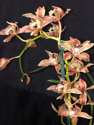 Cymbidium (Species) Bennet- Poei, south east Melbourne, Melbourne, orchid clubs, orchid societies, OSCOV, orchid photos, orchid care, orchid pictures, orchid images, orchid shows, orchid newsletters, orchids on Facebook, orchids of Twitter, Moorabbin, Bentleigh, Brighton, Hampton, Sandringham, Black Rock, Beaumaris, Bayside Council, Bayside district, Kingston, Bayside Melbourne, SE Suburbs, Parkdale, Mordialloc, Carnegie, Cheltenham, McKinnon, Highett, Oakleigh, Clarinda, Heatherton, Clayton, Dingley, Elsternwick, Caulfield, Ormond, Glenhuntley, Murrumbeena,