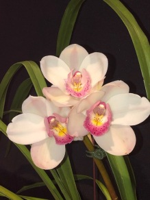 Cymbidium Winter Wonder x Lonestar } Claudia, south east Melbourne, Melbourne, orchid clubs, orchid societies, OSCOV, orchid photos, orchid care, orchid pictures, orchid images, orchid shows, orchid newsletters, orchids on Facebook, orchids of Twitter, Moorabbin, Bentleigh, Brighton, Hampton, Sandringham, Black Rock, Beaumaris, Bayside Council, Bayside district, Kingston, Bayside Melbourne, SE Suburbs, Parkdale, Mordialloc, Carnegie, Cheltenham, McKinnon, Highett, Oakleigh, Clarinda, Heatherton, Clayton, Dingley, Elsternwick, Caulfield, Ormond, Glenhuntley, Murrumbeena,