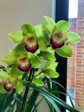 Cymbidium 'Granny Smith', south east Melbourne, Melbourne, orchid clubs, orchid societies, OSCOV, orchid photos, orchid care, orchid pictures, orchid images, orchid shows, orchid newsletters, orchids on Facebook, orchids of Twitter, Moorabbin, Bentleigh, Brighton, Hampton, Sandringham, Black Rock, Beaumaris, Bayside Council, Bayside district, Kingston, Bayside Melbourne, SE Suburbs, Parkdale, Mordialloc, Carnegie, Cheltenham, McKinnon, Highett, Oakleigh, Clarinda, Heatherton, Clayton, Dingley, Elsternwick, Caulfield, Ormond, Glenhuntley, Murrumbeena,