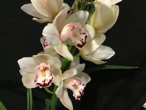 Cymbidium Winter Wonder x Lurwick, south east Melbourne, Melbourne, orchid clubs, orchid societies, OSCOV, orchid photos, orchid care, orchid pictures, orchid images, orchid shows, orchid newsletters, orchids on Facebook, orchids of Twitter, Moorabbin, Bentleigh, Brighton, Hampton, Sandringham, Black Rock, Beaumaris, Bayside Council, Bayside district, Kingston, Bayside Melbourne, SE Suburbs, Parkdale, Mordialloc, Carnegie, Cheltenham, McKinnon, Highett, Oakleigh, Clarinda, Heatherton, Clayton, Dingley, Elsternwick, Caulfield, Ormond, Glenhuntley, Murrumbeena,