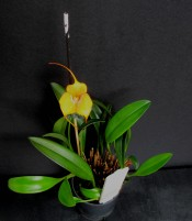 Masdevallia Angel Frost 'Parfait', south east Melbourne, Melbourne, orchid clubs, orchid societies, OSCOV, orchid photos, orchid care, orchid pictures, orchid images, orchid shows, orchid newsletters, orchids on Facebook, orchids of Twitter, Moorabbin, Bentleigh, Brighton, Hampton, Sandringham, Black Rock, Beaumaris, Bayside Council, Bayside district, Kingston, Bayside Melbourne, SE Suburbs, Parkdale, Mordialloc, Carnegie, Cheltenham, McKinnon, Highett, Oakleigh, Clarinda, Heatherton, Clayton, Dingley, Elsternwick, Caulfield, Ormond, Glenhuntley, Murrumbeena,