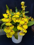 Oncidium 'Sweet Sugar', south east Melbourne, Melbourne, orchid clubs, orchid societies, OSCOV, orchid photos, orchid care, orchid pictures, orchid images, orchid shows, orchid newsletters, orchids on Facebook, orchids of Twitter, Moorabbin, Bentleigh, Brighton, Hampton, Sandringham, Black Rock, Beaumaris, Bayside Council, Bayside district, Kingston, Bayside Melbourne, SE Suburbs, Parkdale, Mordialloc, Carnegie, Cheltenham, McKinnon, Highett, Oakleigh, Clarinda, Heatherton, Clayton, Dingley, Elsternwick, Caulfield, Ormond, Glenhuntley, Murrumbeena,
