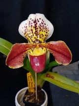 Paph. World Venture x Hang Sheng Heart