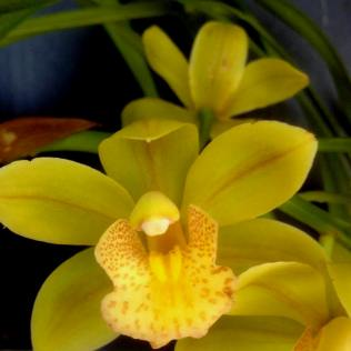 Cym 'Golden Sunset'Aussie Gold, south east Melbourne, Melbourne, orchid clubs, orchid societies, OSCOV, orchid photos, orchid care, orchid pictures, orchid images, orchid shows, orchid newsletters, orchids on Facebook, orchids of Twitter, Moorabbin, Bentleigh, Brighton, Hampton, Sandringham, Black Rock, Beaumaris, Bayside Council, Bayside district, Kingston, Bayside Melbourne, SE Suburbs, Parkdale, Mordialloc, Carnegie, Cheltenham, McKinnon, Highett, Oakleigh, Clarinda, Heatherton, Clayton, Dingley, Elsternwick, Caulfield, Ormond, Glenhuntley, Murrumbeena,