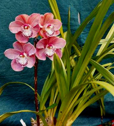 Cym Kirby Lesh 'Pink Ice' x Flaming Magic 'Big Lip' S, south east Melbourne, Melbourne, orchid clubs, orchid societies, OSCOV, orchid photos, orchid care, orchid pictures, orchid images, orchid shows, orchid newsletters, orchids on Facebook, orchids of Twitter, Moorabbin, Bentleigh, Brighton, Hampton, Sandringham, Black Rock, Beaumaris, Bayside Council, Bayside district, Kingston, Bayside Melbourne, SE Suburbs, Parkdale, Mordialloc, Carnegie, Cheltenham, McKinnon, Highett, Oakleigh, Clarinda, Heatherton, Clayton, Dingley, Elsternwick, Caulfield, Ormond, Glenhuntley, Murrumbeena,