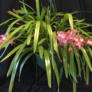 Cym Leodoglam Cradlemont, south east Melbourne, Melbourne, orchid clubs, orchid societies, OSCOV, orchid photos, orchid care, orchid pictures, orchid images, orchid shows, orchid newsletters, orchids on Facebook, orchids of Twitter, Moorabbin, Bentleigh, Brighton, Hampton, Sandringham, Black Rock, Beaumaris, Bayside Council, Bayside district, Kingston, Bayside Melbourne, SE Suburbs, Parkdale, Mordialloc, Carnegie, Cheltenham, McKinnon, Highett, Oakleigh, Clarinda, Heatherton, Clayton, Dingley, Elsternwick, Caulfield, Ormond, Glenhuntley, Murrumbeena,