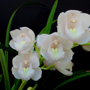 Cym White Cloudy Nite, south east Melbourne, Melbourne, orchid clubs, orchid societies, OSCOV, orchid photos, orchid care, orchid pictures, orchid images, orchid shows, orchid newsletters, orchids on Facebook, orchids of Twitter, Moorabbin, Bentleigh, Brighton, Hampton, Sandringham, Black Rock, Beaumaris, Bayside Council, Bayside district, Kingston, Bayside Melbourne, SE Suburbs, Parkdale, Mordialloc, Carnegie, Cheltenham, McKinnon, Highett, Oakleigh, Clarinda, Heatherton, Clayton, Dingley, Elsternwick, Caulfield, Ormond, Glenhuntley, Murrumbeena,