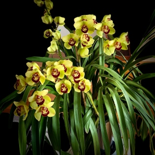 Cymbidium 'Emerald', south east Melbourne, Melbourne, orchid clubs, orchid societies, OSCOV, orchid photos, orchid care, orchid pictures, orchid images, orchid shows, orchid newsletters, orchids on Facebook, orchids of Twitter, Moorabbin, Bentleigh, Brighton, Hampton, Sandringham, Black Rock, Beaumaris, Bayside Council, Bayside district, Kingston, Bayside Melbourne, SE Suburbs, Parkdale, Mordialloc, Carnegie, Cheltenham, McKinnon, Highett, Oakleigh, Clarinda, Heatherton, Clayton, Dingley, Elsternwick, Caulfield, Ormond, Glenhuntley, Murrumbeena,